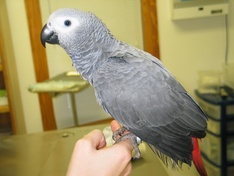 Libby, a Congo-Timneh Hybrid African Grey Parrot - only 17 weeks.