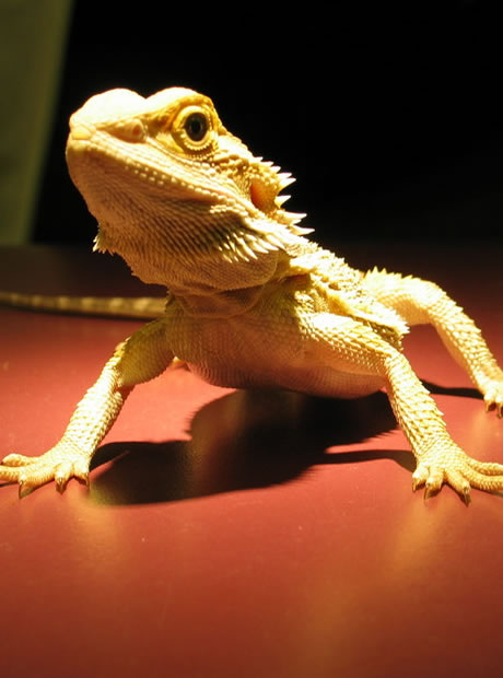 Bob (Bearded Dragon)